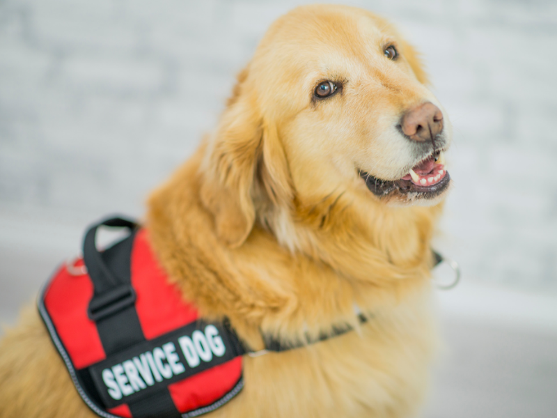 Golden Retriver Service Dog with red and black vest that says Service Dog.